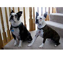 Boston Terriers Photographic Print