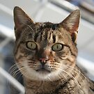 Beautiful Eyed Tabby Cat by taiche