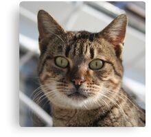 Beautiful Eyed Tabby Cat Canvas Print