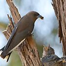 Dusky Wood Swallow at Nest by Ian Robertson