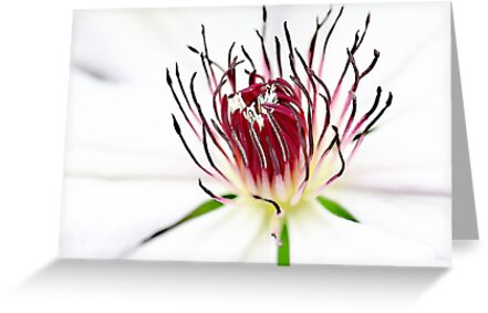 White Clematis by Robyn Carter