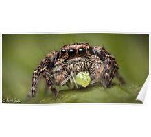 (Servaea vestita) Jumping Spider #4 Poster