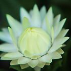White Paper Daisy by onemistymoo