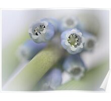 Grape Hyacinth I Poster