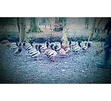 Ducks Photographic Print