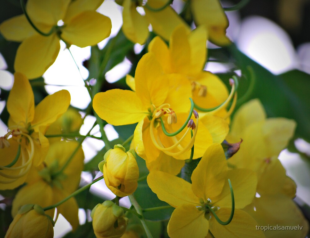 Yellow Blossom Flowers by tropicalsamuelv