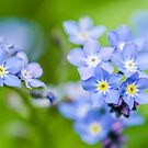 Forget-me-not by BenRobsonHull