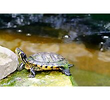 Yellow Bellied Slider Turtle Photographic Print