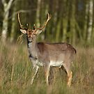 Fallow Deer II by Peter Wiggerman