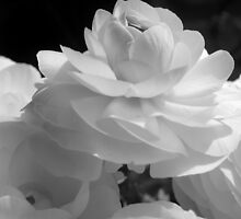 Lady Ranunculus by Laura  McGregor