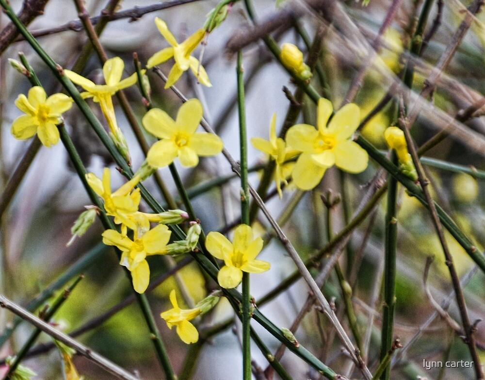 Winter Jasmine by lynn carter