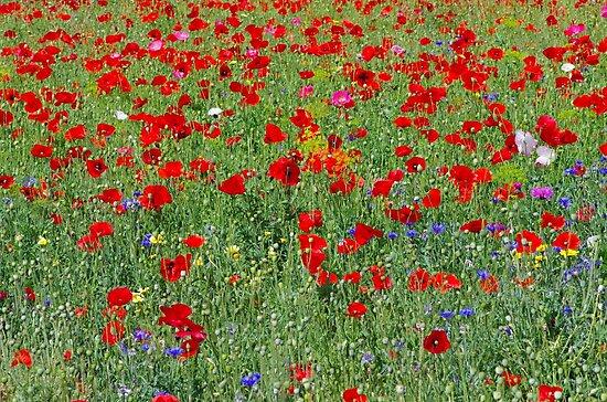 poppy field by supergold