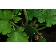 Baby Zucchini Photographic Print