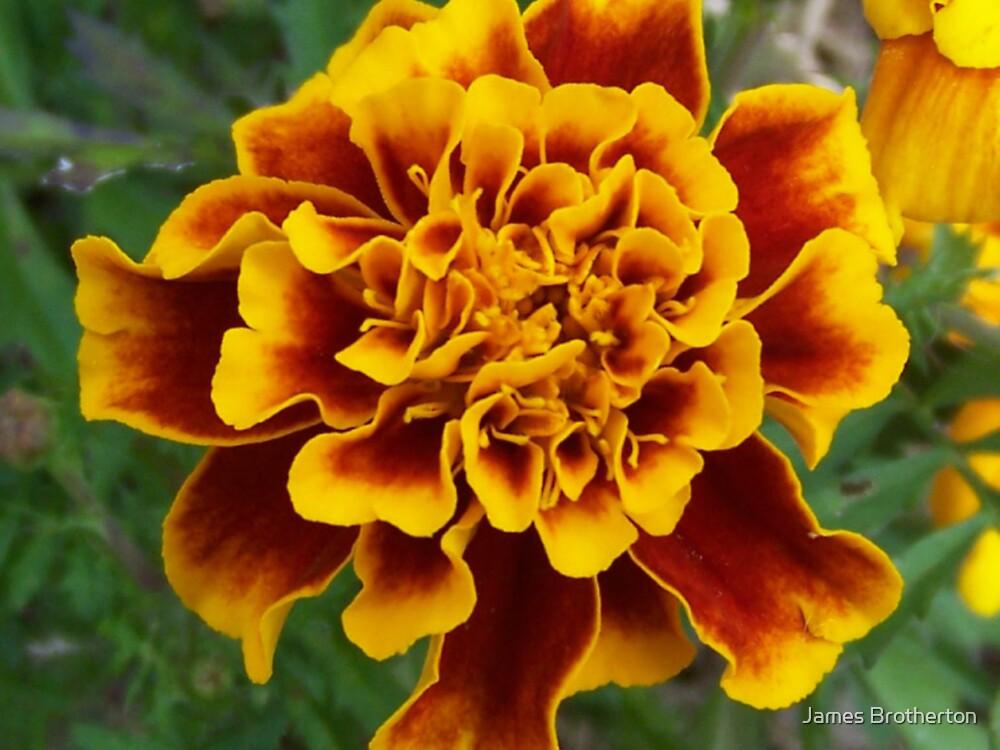 Marigold by James Brotherton