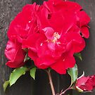 Red Rambling Rose by oscars