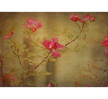 Vintage Rosebush Photographic Print