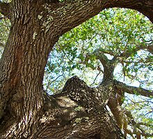 Live Oak Tree - Outer Banks NC - Buxton by MotherNature