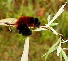 Banded Woolybear Caterpiller - Drying Off by mussermd