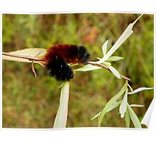 Banded Woolybear Caterpiller - Drying Off Poster