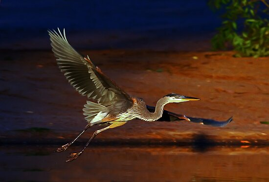 Juvenile Heron by Marvin Collins