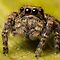 (Servaea vestita) Jumping Spider #5 (focus Stacked) by Kerrod Sulter