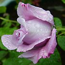 Lilac Rose in the Rain by LoneAngel