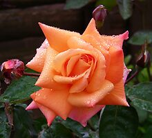 Raindrops on an Orange Rose by LoneAngel