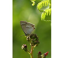 Purple Hairstreak Photographic Print