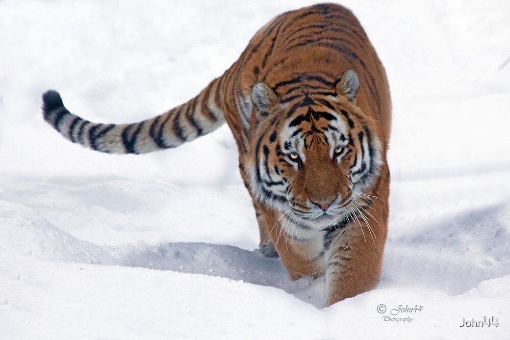 His Majesty the Siberian Tiger by John44