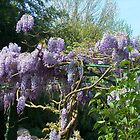 Wisteria - Monet's Garden, Giverny, France by DMRPhotos