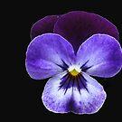 Velvety Viola by MidnightMelody