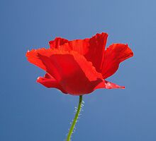 Red Against Blue by Barrie Woodward