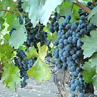 Malbec Grapes by Joni  Rae
