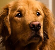 Golden Retriever by jswolfphoto