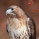 Red -Tailed Hawk ~ by Renee Blake