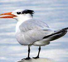 Royal Tern at Cedar Key by AuntDot