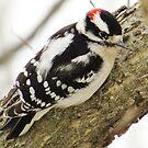 Downy Woodpecker by lorilee