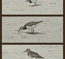 Ruddy Turnstone - Arenaria interpres by MotherNature