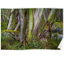 Snow Gums in Summer. Poster