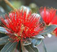Pohutukawa- New Zealand Christmas Tree 2 by cdwork