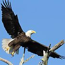 In flight-Anclote bald eagle by jozi1