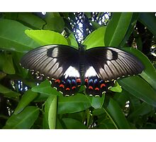 butterfly series Photographic Print