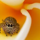 (Servaea vestita) Jumping Spider on Frangipani by Kerrod Sulter