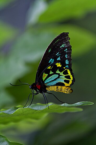 Cairns birdwing Butterfly by collpics