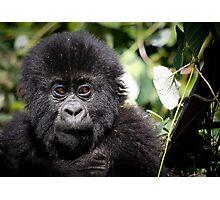 Baby mountain gorilla Photographic Print