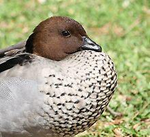 Fluffy Duck by reflector