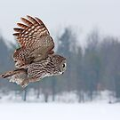 Flyby - Great Grey Owl by Jim Cumming