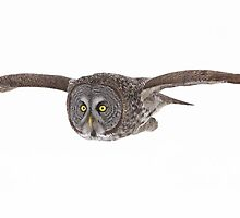 Great Grey Owl pano by Jim Cumming