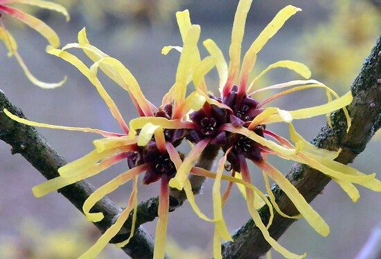 Witch Hazel (Hamamelis sp.) in flower by Chris Monks