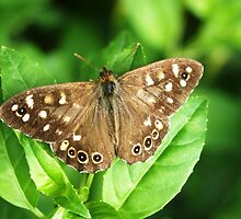 Speckled Wood Butterfly by Rachel Down